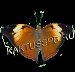 Бабочка осенний лист (Doleschallia bisaltide)