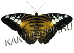 Бабочка сильвия тигровая (Parthenos Sylvia)