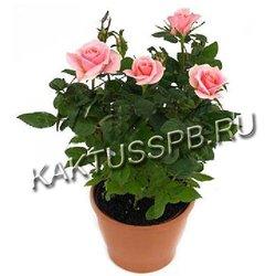 Купить розовую розу в горшке